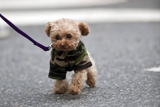 Penny, Blake Lively's Maltipoo