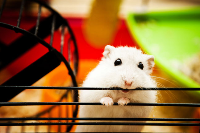 good-pets-for-kids-hamster-guinea-pig
